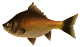 Groovy-Carp.png